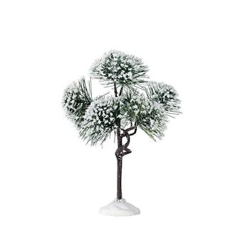 """6"""" Mountain Pine"""