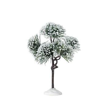 6 Mountain Pine